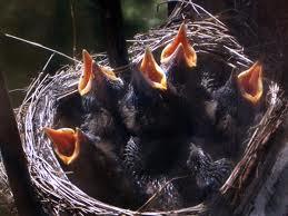fågelungar